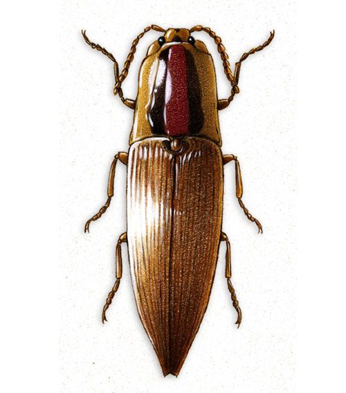 Beetle Colored Pencil